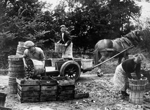 A black and white photograph of a man and two women transferring apples into baskets, with a horse and cart in the background. From the Farmer and Stockbreeder photographic archive.