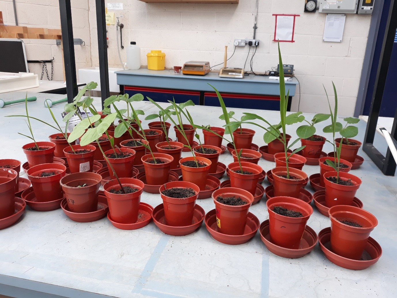 Plants sitting in pots in three rows on a white table. They have been germinating in the pots.