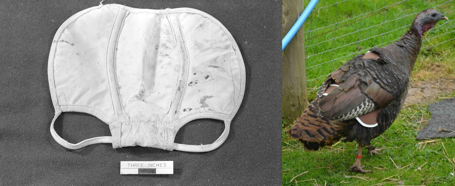 An image of a turkey saddle (a kind of underwear) on the left, and an example of a turkey wearing one on the right.