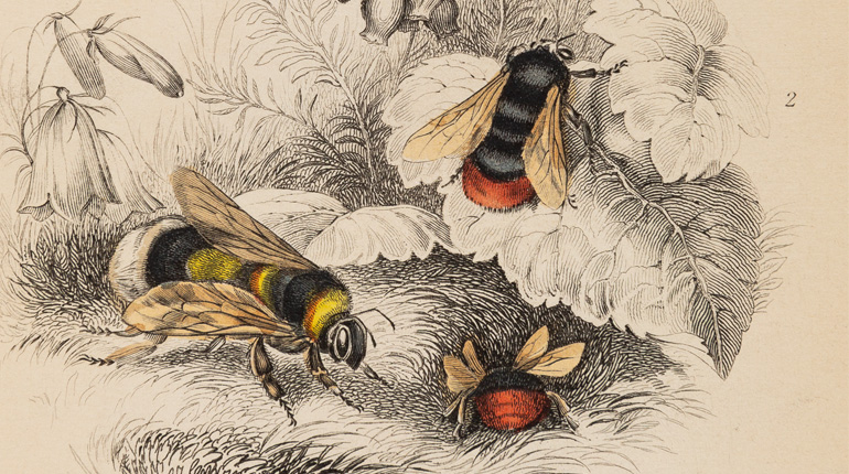 Line drawings of bees from the Cowan bee collection exhibition